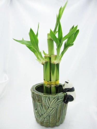 9GreenBox-Live-5-Style-Lucky-Bamboo-Plant-Arrangement-with-Ceramic-Panda-Vase-0