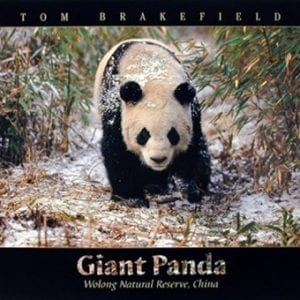Giant-Panda-in-the-Snow-Bamboo-Wildlife-Wall-Decor-Art-Print-Poster-16x20-0