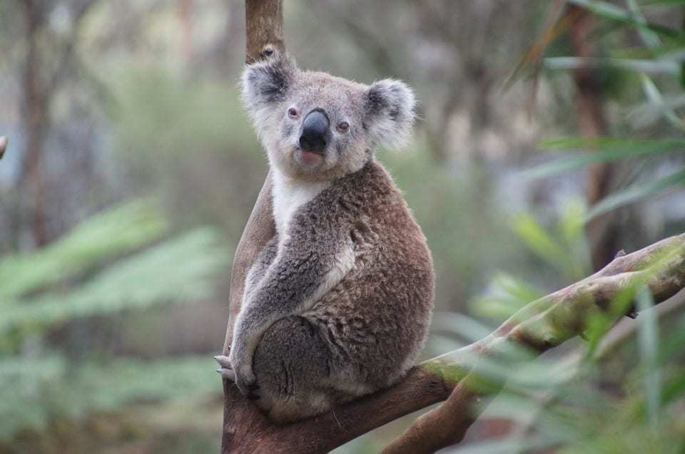 Are Pandas Marsupials - Koala Bear