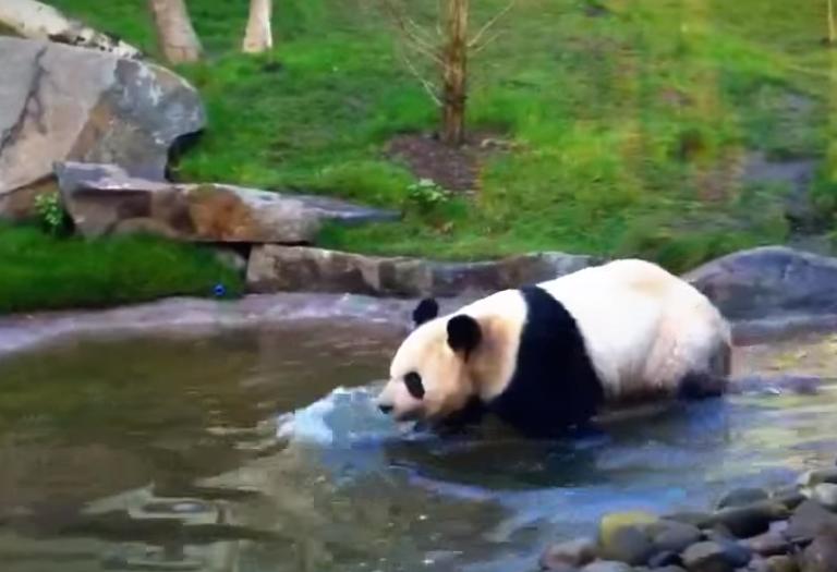 Can Pandas Swim- Panda Swimming
