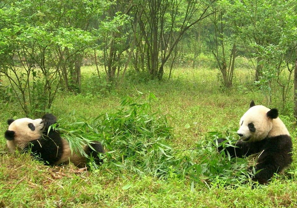 Do Pandas Have Predators- Pandas in the Wild