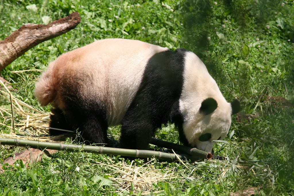 Do Pandas Have Tails - Adult Panda with Tail