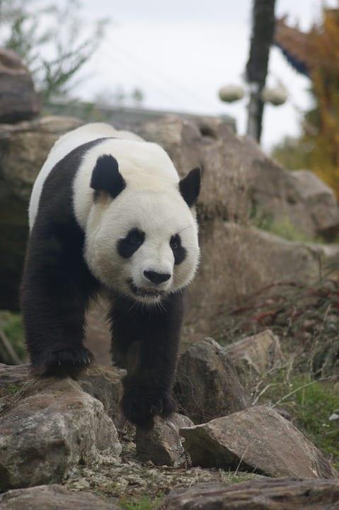 Do Pandas Hibernate - Panda in Mountains