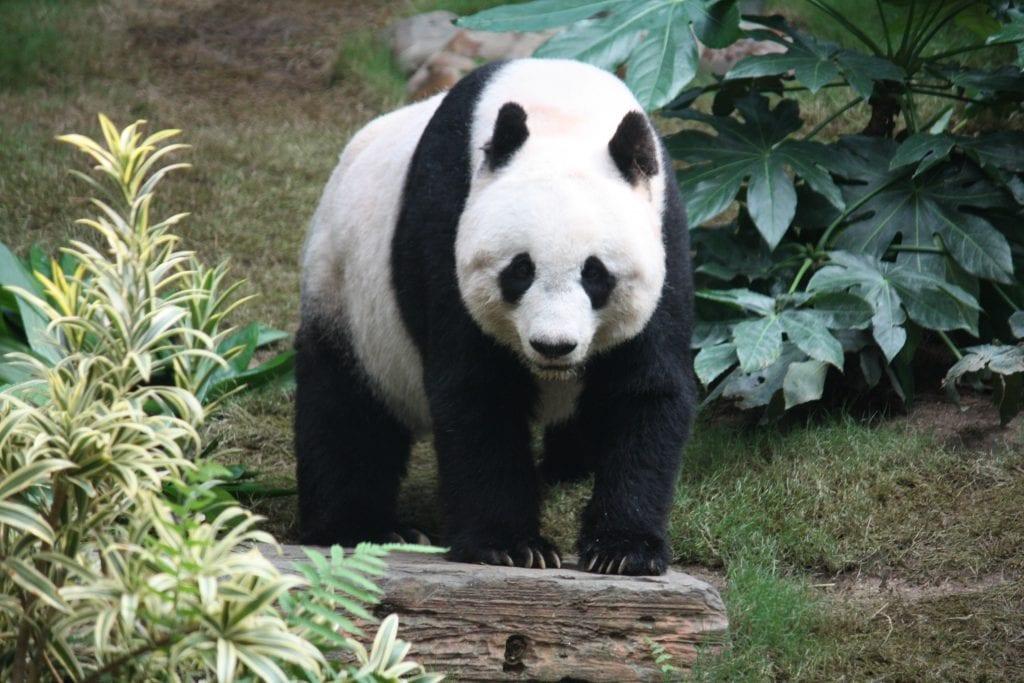 How Much Do Pandas Weigh- Big Panda