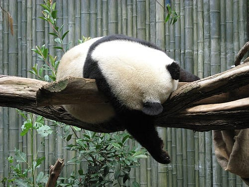Where Do Pandas Sleep - Panda Asleep in Tree