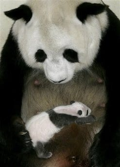 Where Do Pandas Sleep - Panda Cub Asleep on Mom