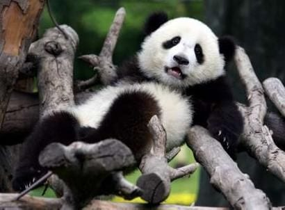 Why Are Pandas Black and White- Camouflaged Panda