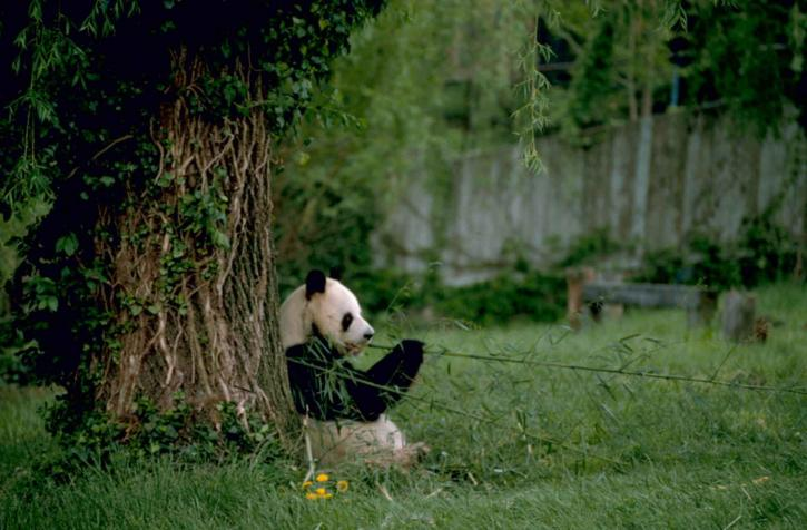 Why Are Pandas Black and White - Easy to Spot Panda