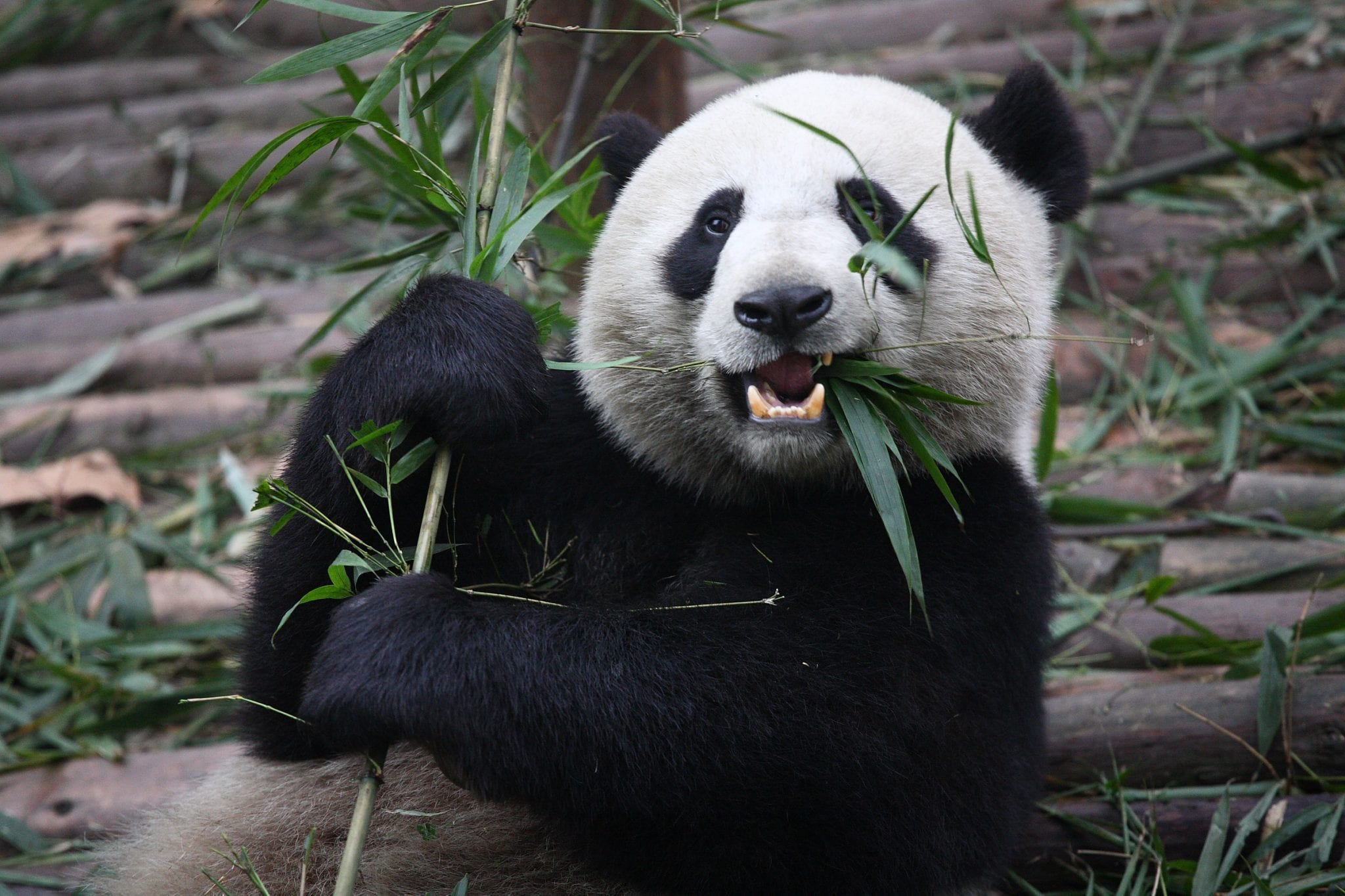 Why Do Pandas Eat Bamboo- Panda Eating Bamboo