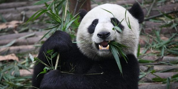 Close up of a panda holding and eating bamboo leaves
