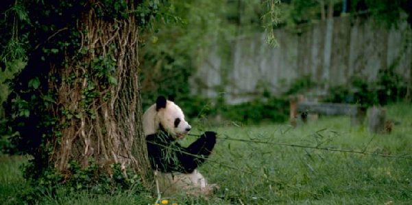 Panda sat against a tree eating bamboo