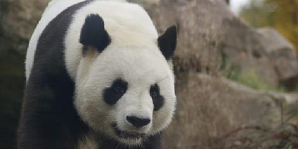 Close up of a pandas face with rock formation in the background
