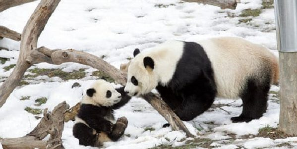 Parent and child panda playing in the snow together