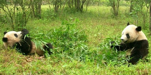 Two grown up pandas sat amongst greenery eating bamboo together