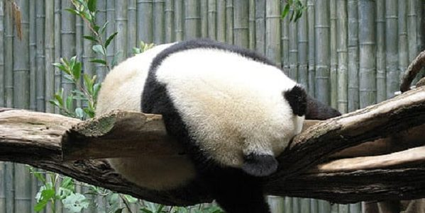 Grown up panda sleeping slumped over a tree branch