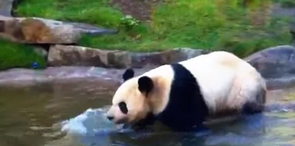 A grown up panda wading through water