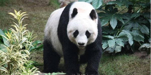 Large panda stood on all fours inbetween dark green and light green trees