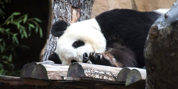 Panda laying down on platform made of logs