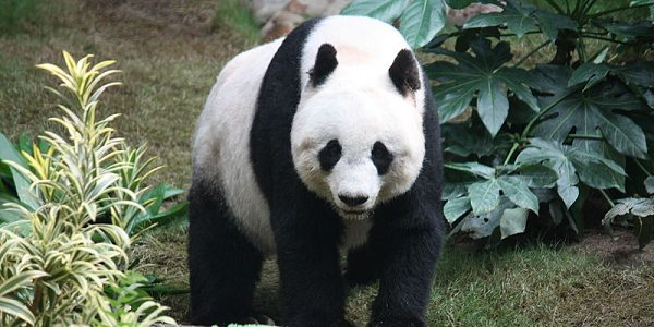 Large panda stood amongst greenery